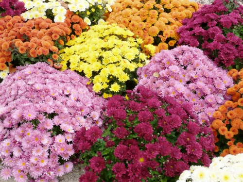 chrysanthemes-11.jpg